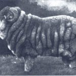 A champion Merino sheep, prized for their warm, soft coats, from 1905.