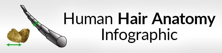 Human Hair Anatomy Infographic