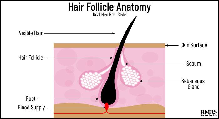 hair follicle infographic